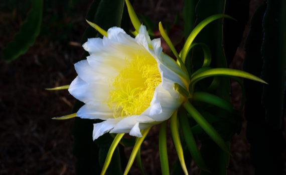 Dragon Fruit Cacti