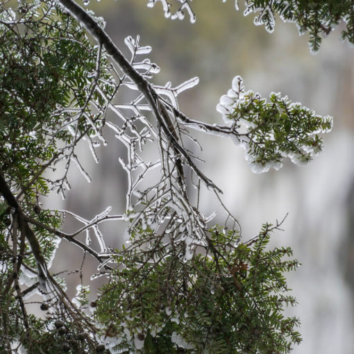 pine tree leaves coated with ice and snow